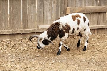 Cute Jacob sheep in farm yard