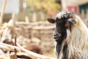 Cute funny goat in farm yard