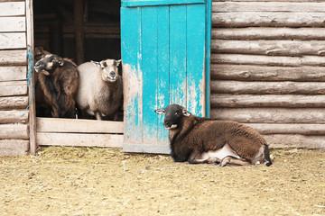 Cute sheep in farm yard