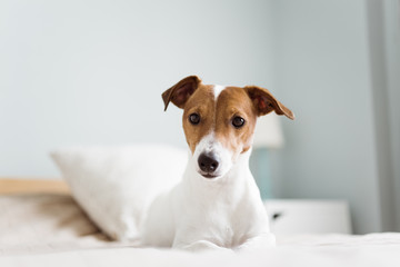 Jack Russell waiting property at home