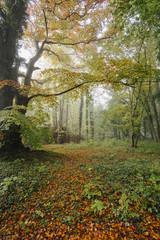 Autumnal trees in fog. Norfolk, UK.