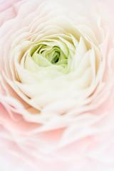 Close-up of pastel ranunculus