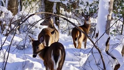 Group of deer in the snow