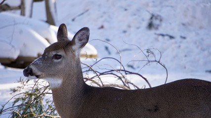 Deer outside in the snow