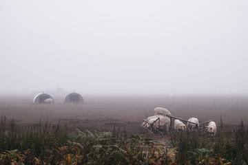 Pig farm on a foggy morning, Norfolk, UK.