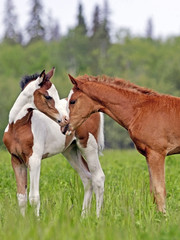 Cute Pinto and chestnut Foals greeting each other on fresh grass pasture.
