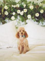 Pretty lil poodle