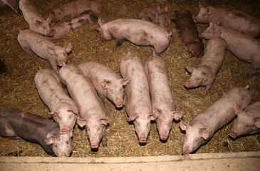 Piglets growing up at an industrial animal farm