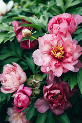 vertical image of many peonies in bloom