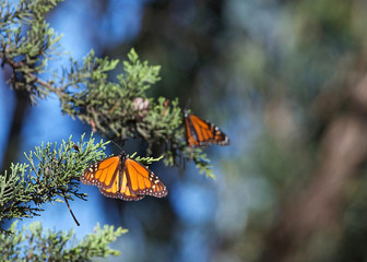 Two Monarch Butterflies in a pine tree. The monarch butterfly may be the most familiar North American butterfly and an iconic pollinator species.