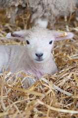 Sweet little lamb, resting quietly in the straw