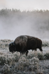 Bison on a cold morning