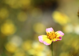 Diasy flower in tropica