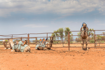 Central Australian tourist outback attractiom Camels at rural farm waiting for a ride in wild bush