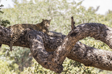 Leopard resting on the branch of a tree