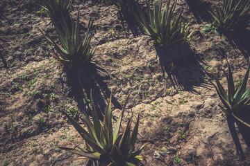 Aloe vera growing