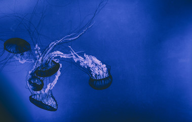 Jelly fish background