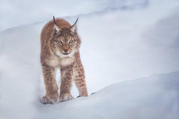 Canvas Prints Lynx lynx
