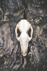 Kangaroo skull on tree trunk bark background. Moody, dark, pagan and animal totem concepts.