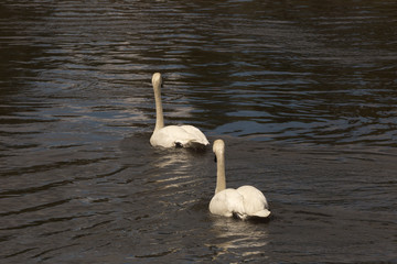 Two White Swans on Deschutes River