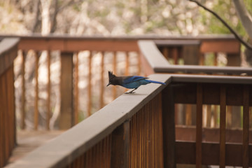 Blue and Gray Jay Bird on Wood Deck
