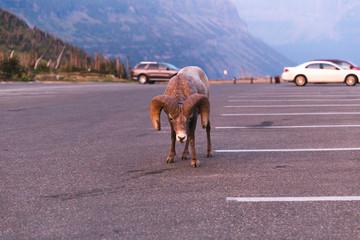 Intimidating Bighorn Sheep at Glacier National Park