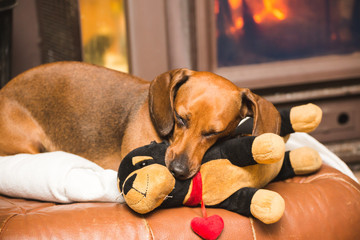 Dachshund Dog Relaxing with Stuffed Toy