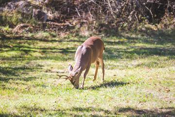 Male Deer or  Buck Feeding in Grass