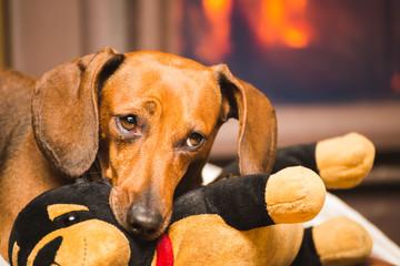 Dachshund Dog Chewing on Stuffed Toy