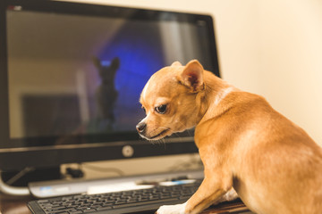 Chihuahua on a Computer