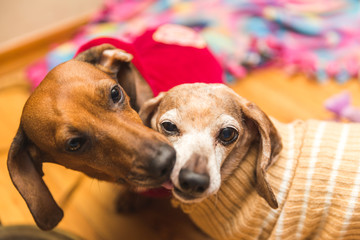 Two Dachshunds Grooming