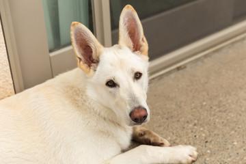 White Shepherd Dog Outside