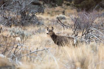 Deer in Desert Landscape