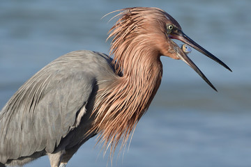 REDDISH EGRET WITH CATCH