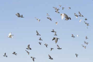 Flock of pigeons flying with blue sky background