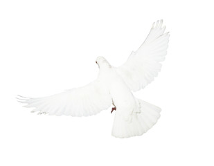 White pigeon flying isolated on white background