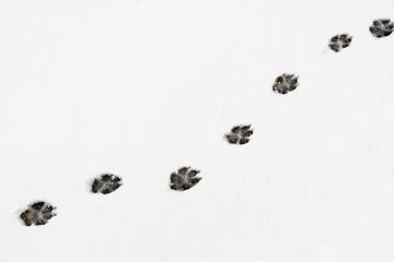 Pisadas, huellas de perro pastor alemán en la nieve.