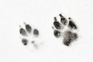 Huellas de perro pastor alemán en la nieve.