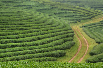 Tea plantation landscape in the north of Thailand
