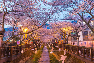 Spring Cherry blossom festival at Yeojwacheon Stream at night, Jinhae, South Korea
