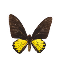 Taxidermy - Black and yellow butterfly, isolated on white
