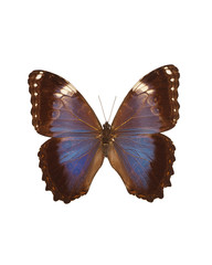 Taxidermy - Brown and blue fritillary butterfly, isolated on white
