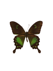 Taxidermy - Brown and green swallowtail butterfly, isolated on white