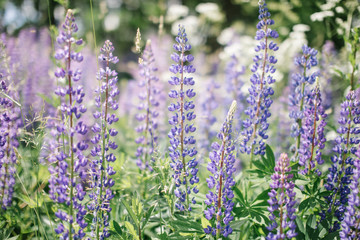 Lupinus Perennis, Blue Lupine growing wild in the forest