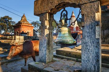 Cow, Pashupatinath, Kathmandu, Nepal