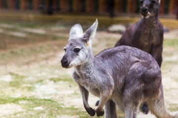 Wallaroo in the Zoo
