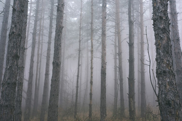 Deep Mountain Pine Tree Woods With Mist