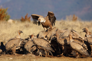 Group of griffon vultures eating