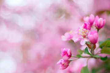 Spring blooming background with apple tree