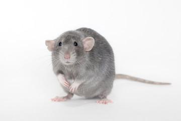 Blue rat on white background